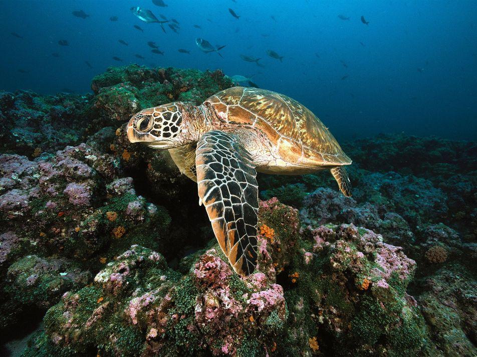 99% destas tartarugas estão nascendo fêmeas – veja por que