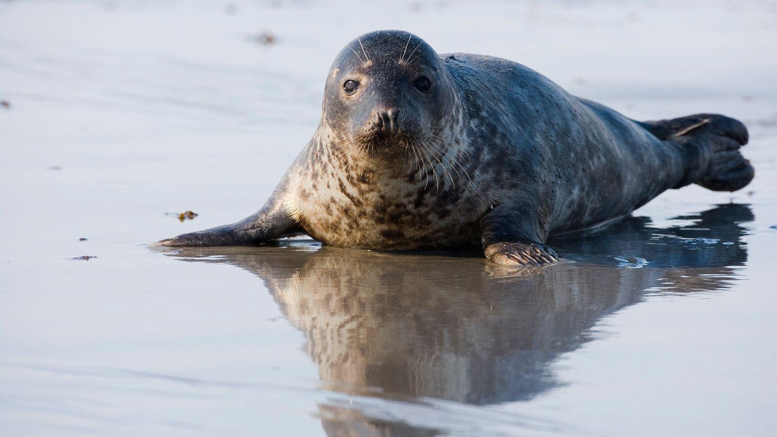 Uma foca-cinzenta (Halichoerus grypus) foi recentemente avistada atacando e comendo um membro mais jovem da própria ...