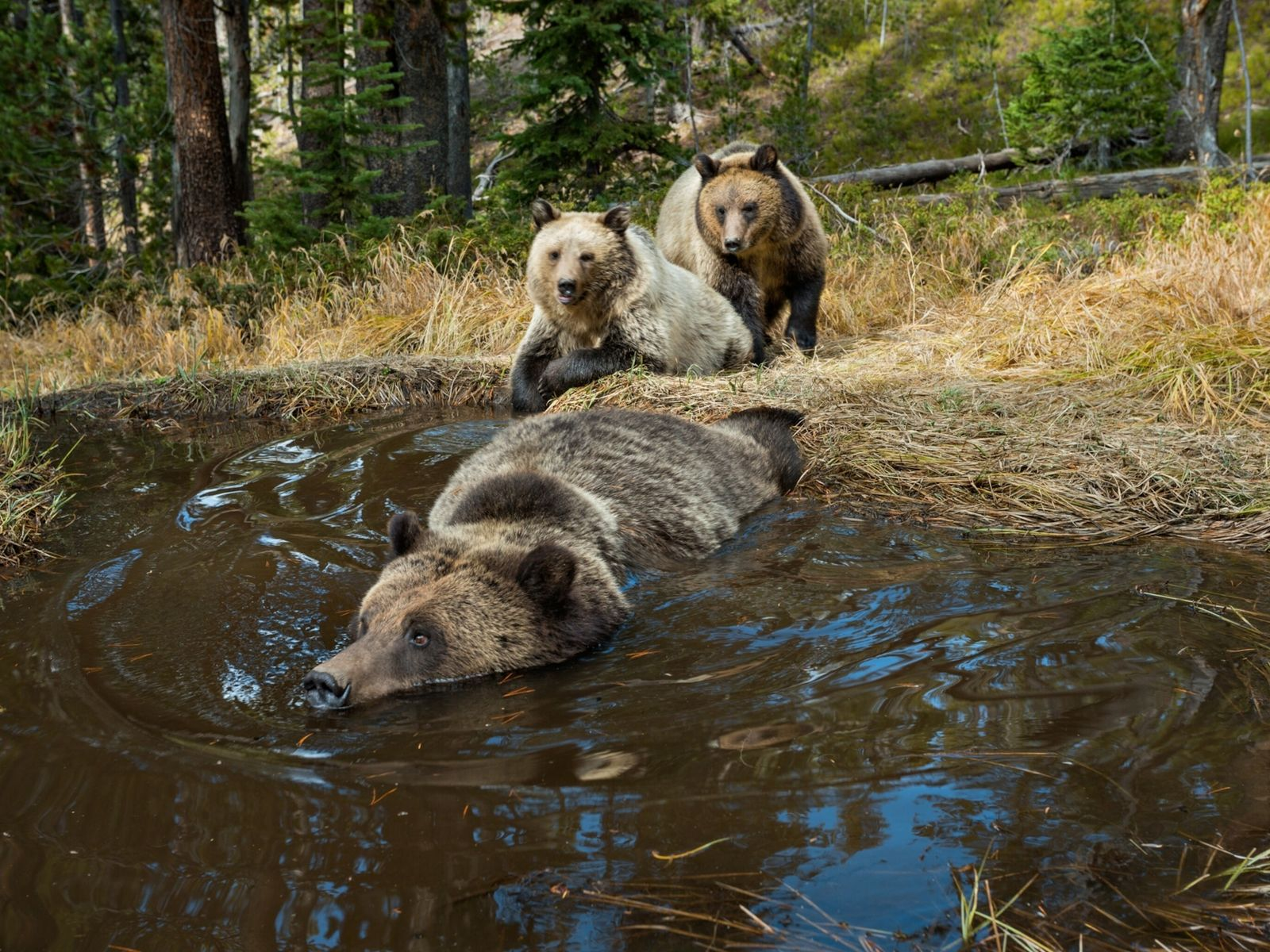 01-grizzly-bears-swimming