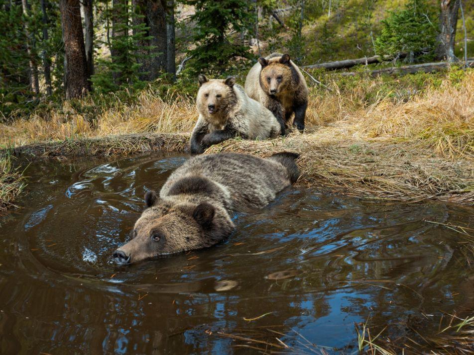 Os ursos-pardos estão ressurgindo. Mas haverá espaço para eles?