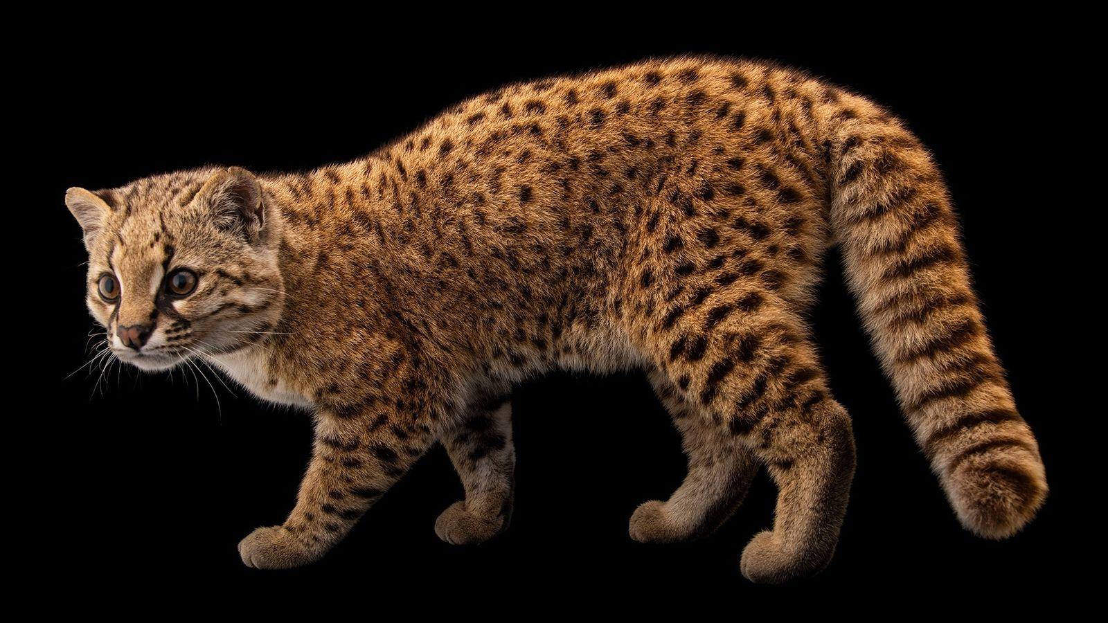 """Pikumche é um gato-chileno do norte macho orfão criado por humanos. Ele foi um """"amor"""" durante ..."""