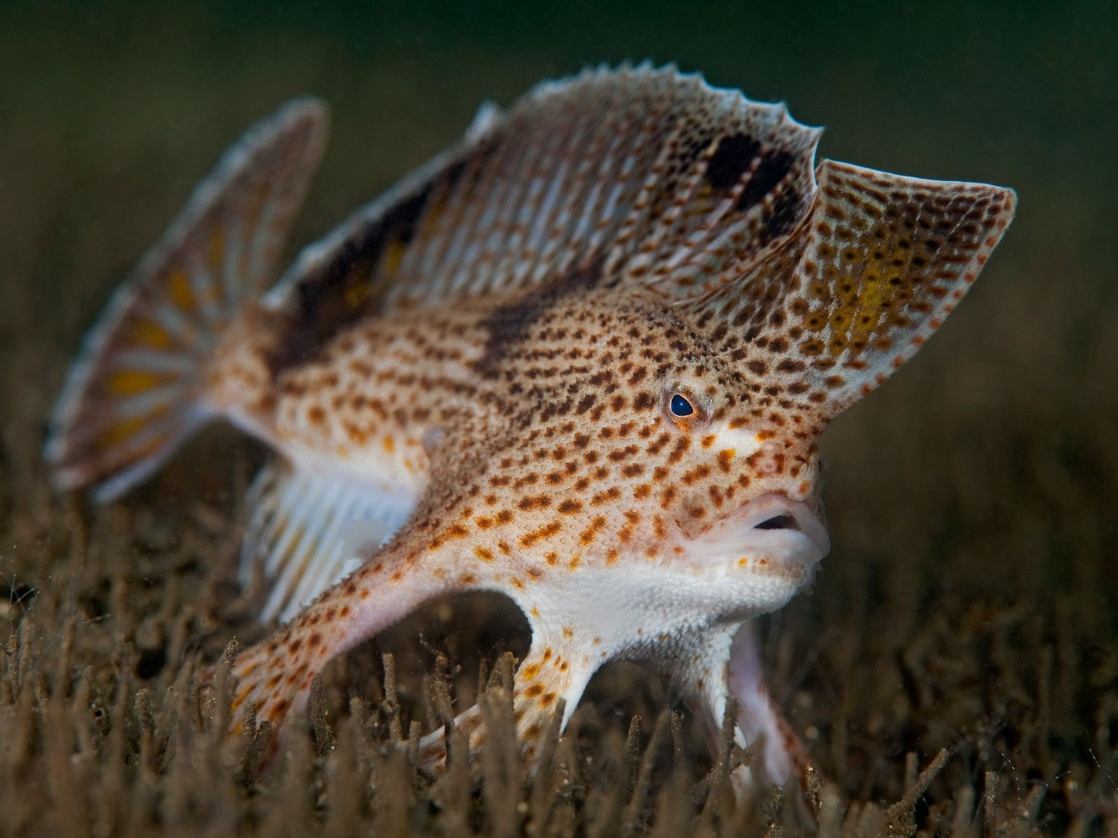 O peixe-mão manchado, criticamente ameaçado de extinção, vive no estuário do rio Derwent perto de Hobart, ...