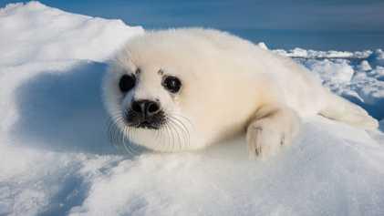 Como um filhote de foca morreu com uma embalagem plástica no estômago