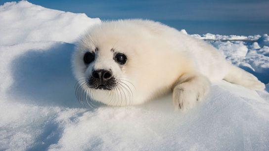 Um filhote de foca harpa descansa num pequeno bloco de gelo no Golfo de São Lourenço. ...