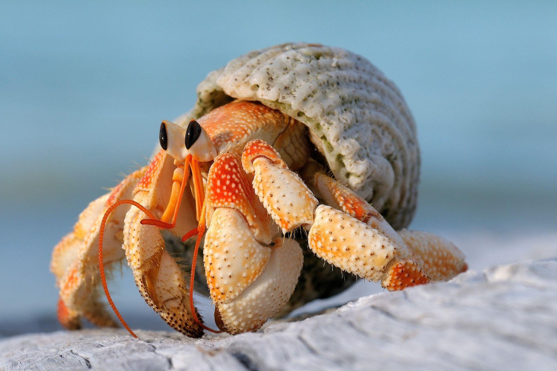 """Como alguns de seus parentes, os caranguejos-eremitas terrestres (Coenobita perlatus) de Seicheles gastam muita energia """"reformando"""" ..."""