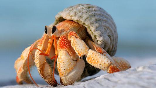 Caranguejos-eremitas desenvolveram órgãos sexuais maiores para evitar a perda de moradia