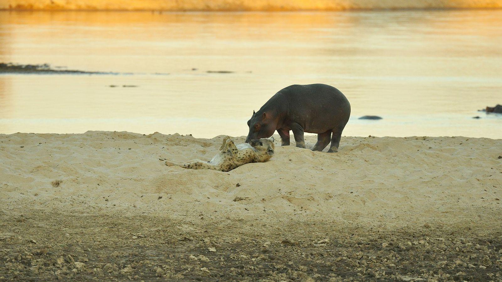Focinho com focinho: Uma hiena-malhada rola de barriga para cima perto de um hipopótamo às margens ...