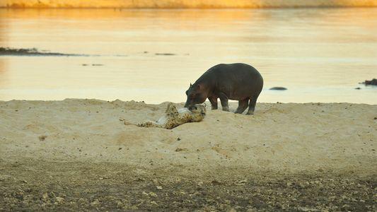 Amor ou curiosidade? Em raro encontro, hipopótamo e hiena dão beijo de esquimó