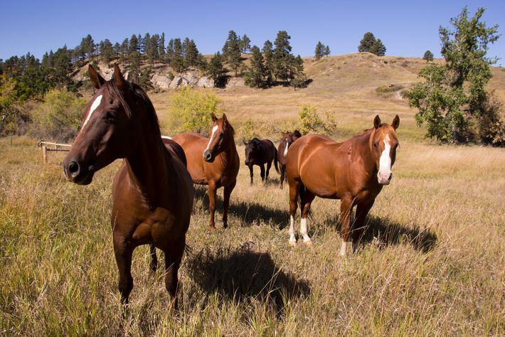 Cavalos alertas em um pasto em Belle Fourche, Dakota do Sul. A busca pela origem do ...