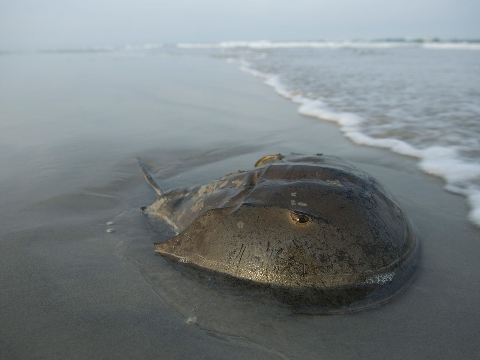 Um caranguejo-ferradura-do-atlântico na praia em Stone Harbor, Nova Jersey, não muito longe da baía de Delaware.