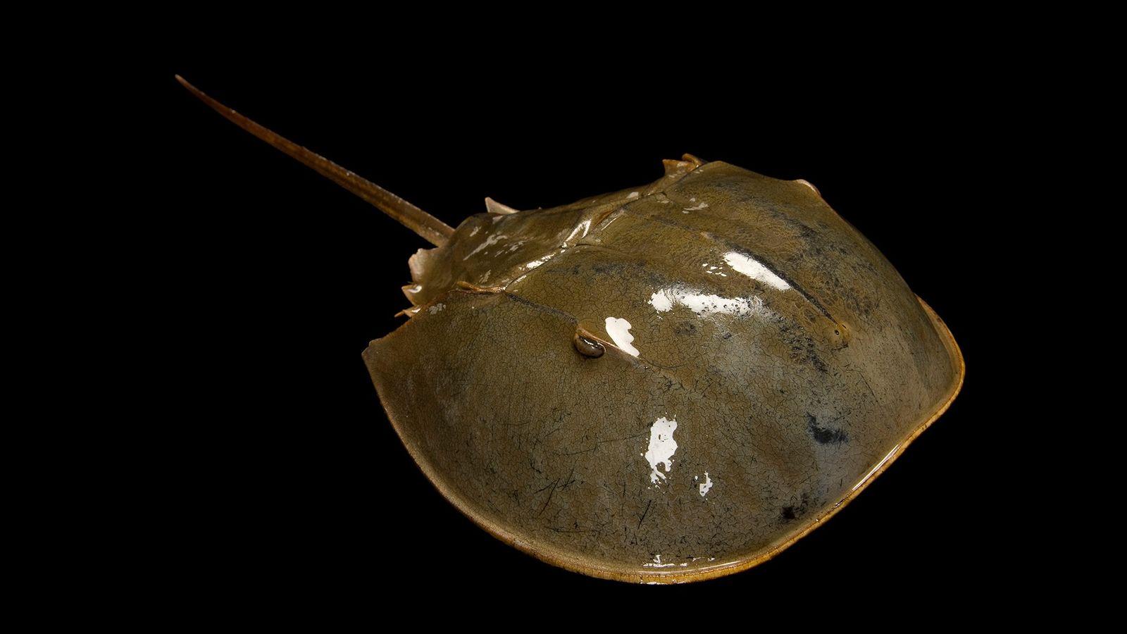 Um caranguejo-ferradura fotografado em Money Island, Nova Jersey. Atualmente, há quatro espécies dessas criaturas pré-históricas.