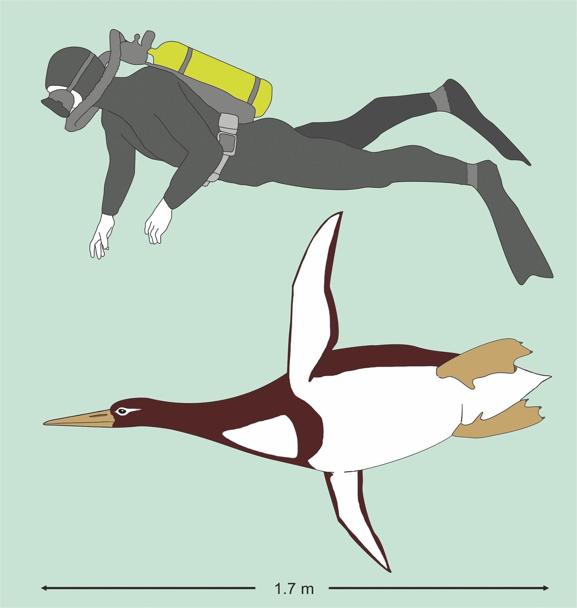 Reconstrução artística da Kumimanu biceae em comparação com um mergulhador humano.