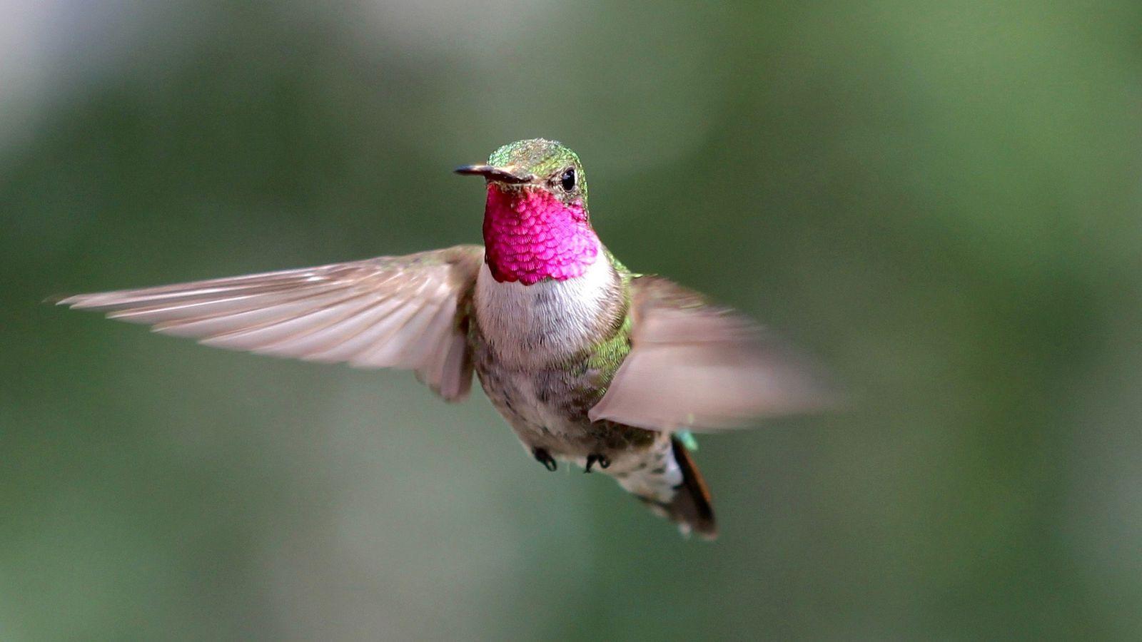 Um beija-flor-de-cauda-larga macho voa no Colorado, EUA, como parte de um experimento sobre visão de cores.