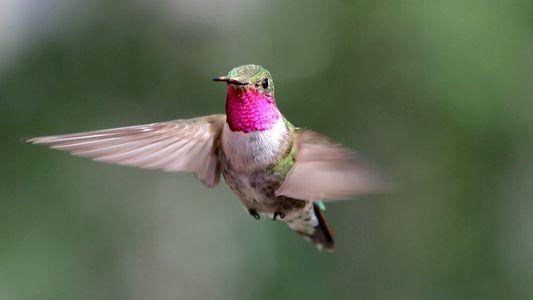 Beija-flores veem cores que nós, humanos, nem sequer imaginamos