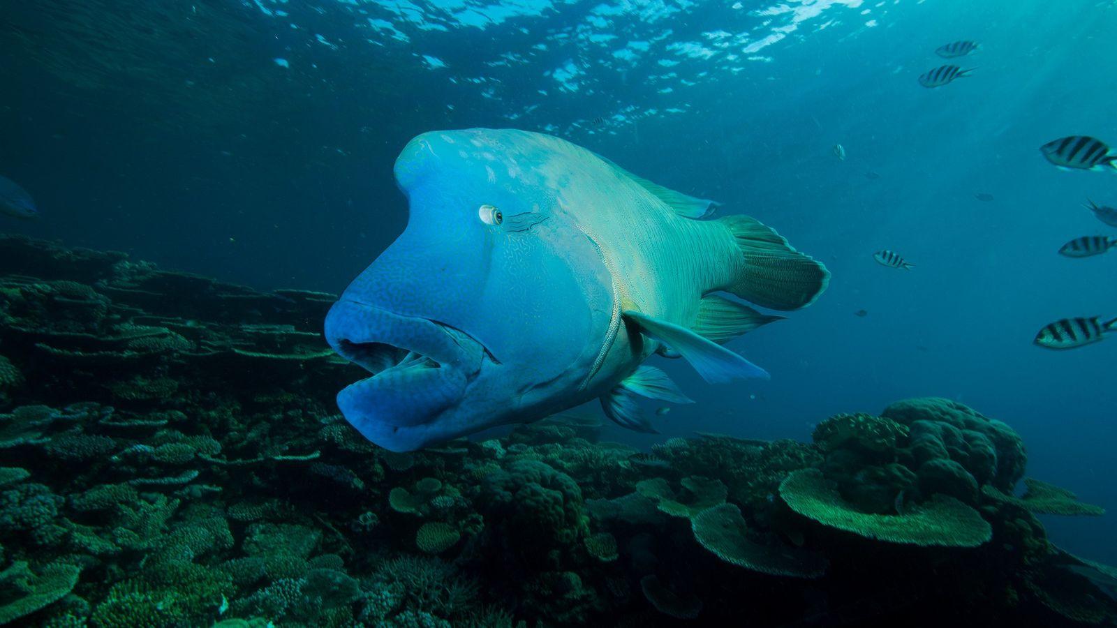 Podendo pesar cerca de 180 quilogramas e com marcas diferenciadas atrás dos olhos, o peixe-napoleão vive ...