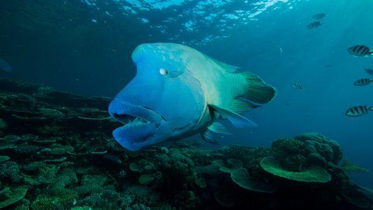 "Jantares luxuosos podem mudar a realidade do peixe considerado o ""rei dos corais"""