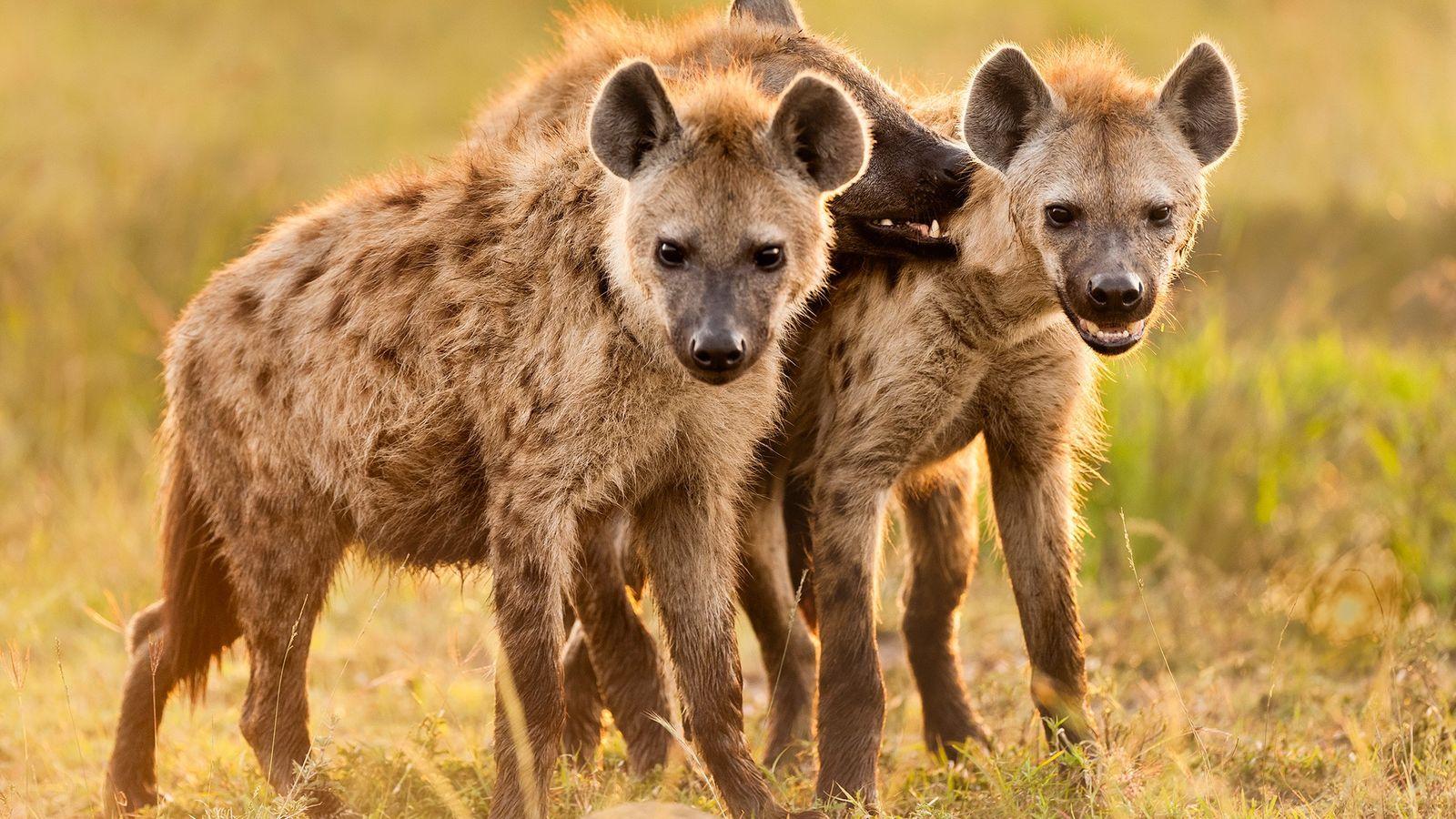 As hienas-malhadas socializam em seu refúgio na Reserva Nacional Masai Mara do Quênia. Os pais passam ...
