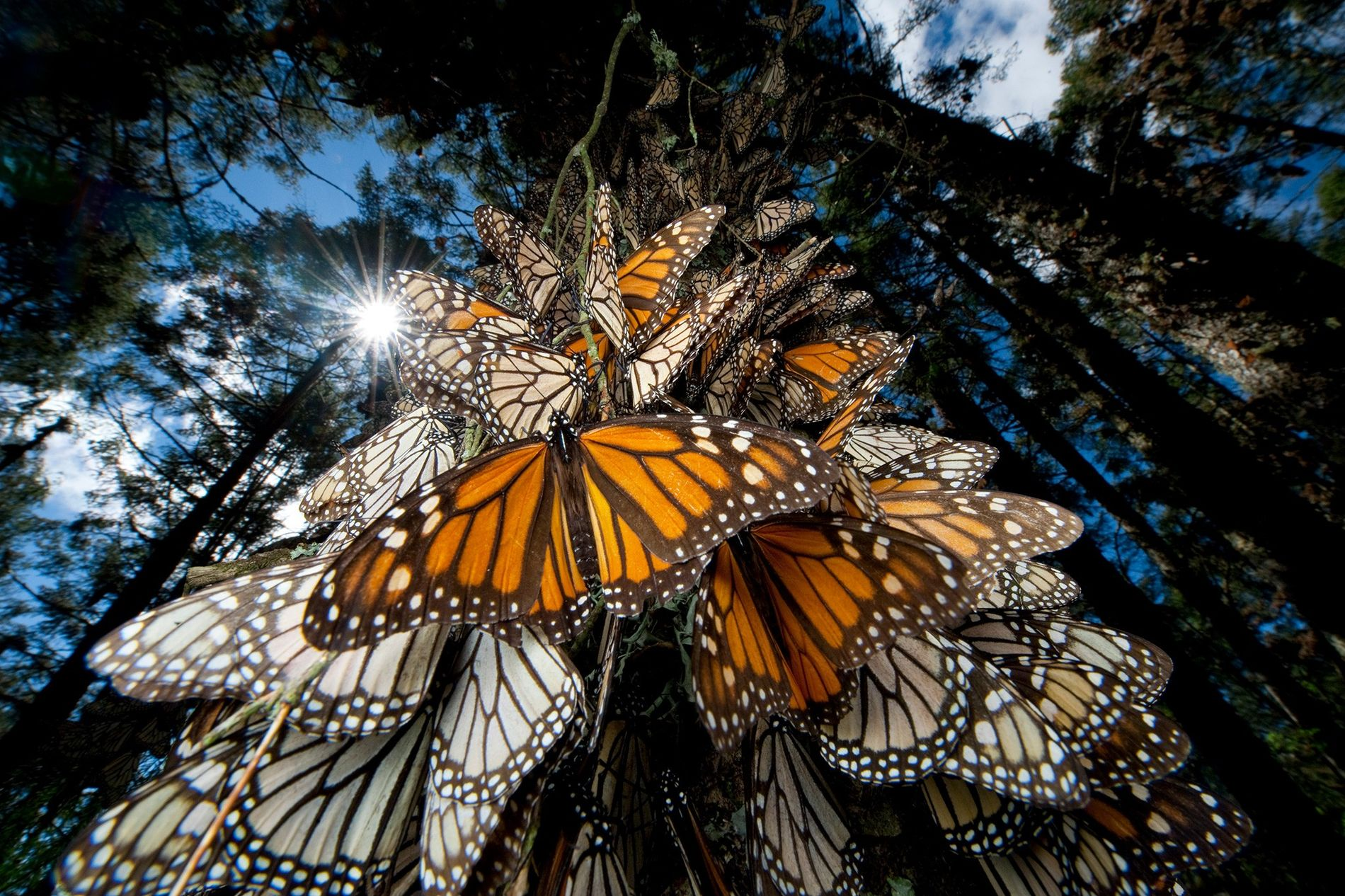 Borboletas-monarca passam o inverno na Serra Chincua, no México, e, como muitos outros insetos, entraram em ...