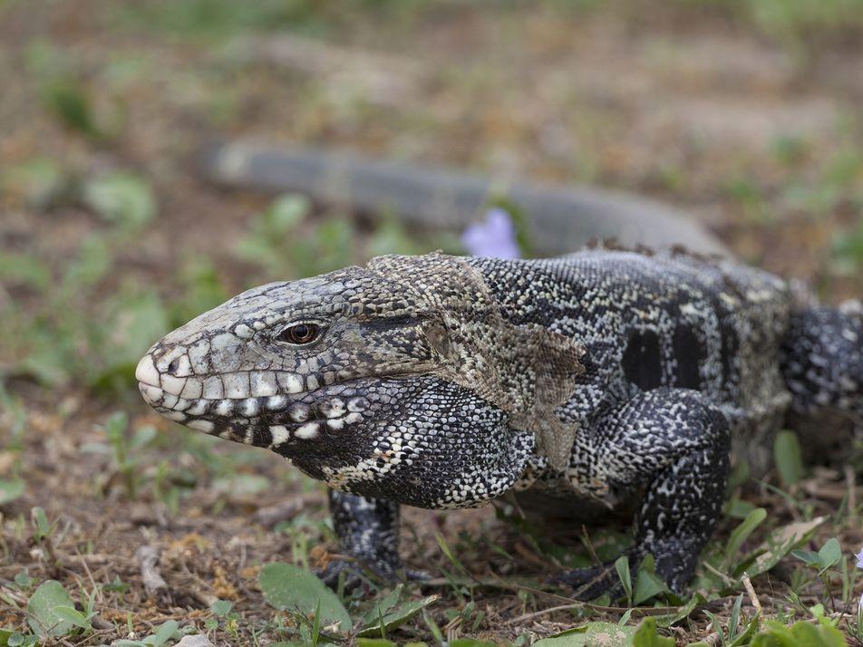 Por que nunca devemos soltar animais de estimação exóticos na natureza