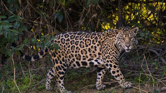 Onça-pintada à espreita na margem de um rio no Pantanal, no Mato Grosso do Sul. Segundo ...