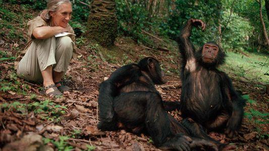 50 anos depois, chimpanzés estudados por Jane Goodall ainda revelam descobertas