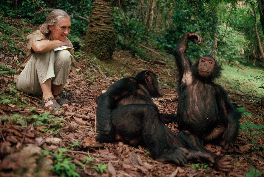 """Colhendo recompensas por anos de dedicação, Jane Goodall sorri para os chimpanzés de Gombe. """"Somos o ..."""