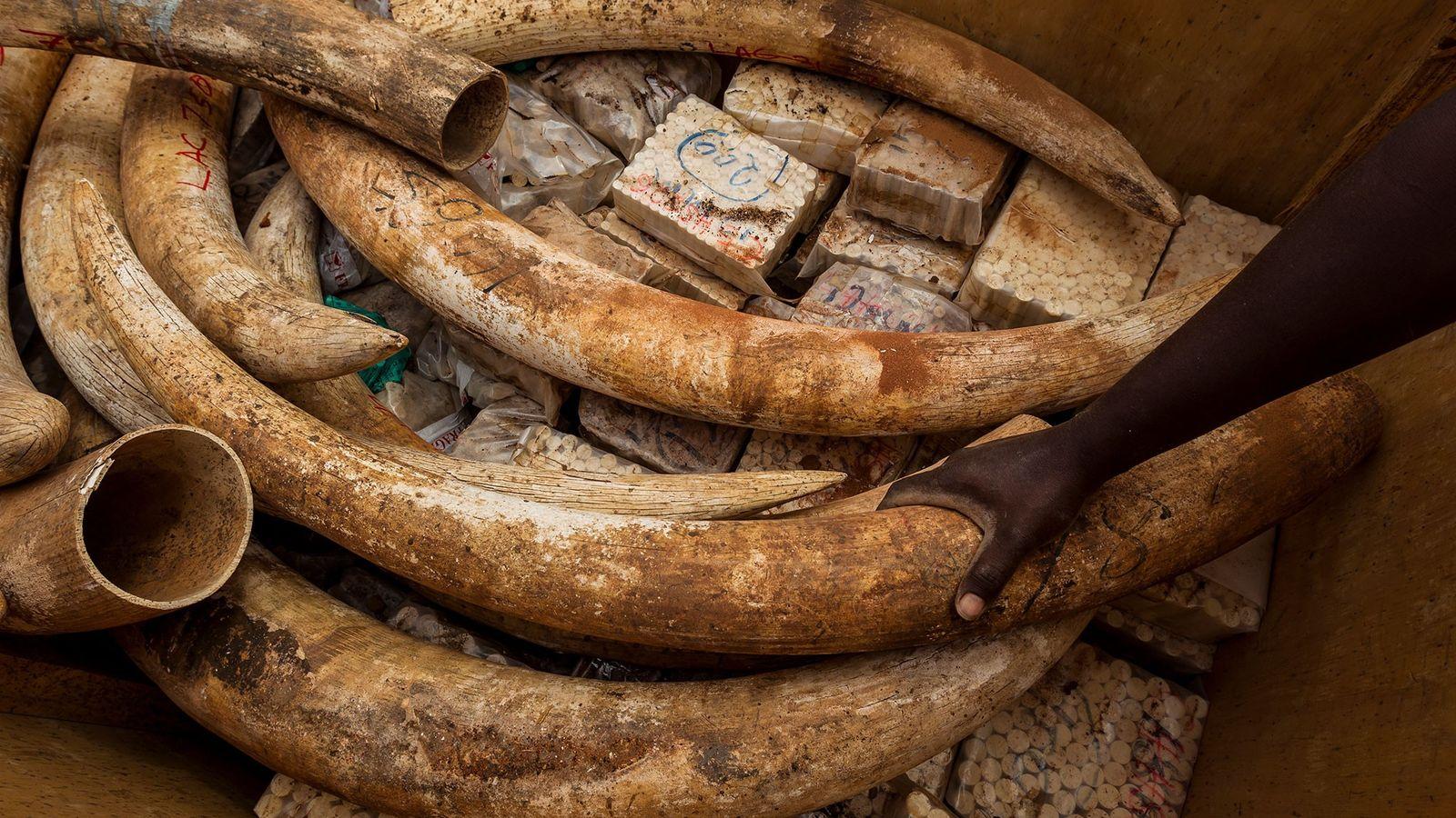 As novas exigências não valem para o marfim cortado ou entalhado, nem para as 170 toneladas ...
