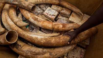 Novas regras para frear comércio de marfim no Japão não funcionam, dizem especialistas