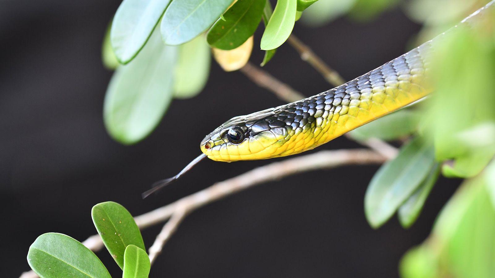 Uma cobra arborícola comum do gênero Dendrolaphis aproveita o sol entre um teste e outro do ...