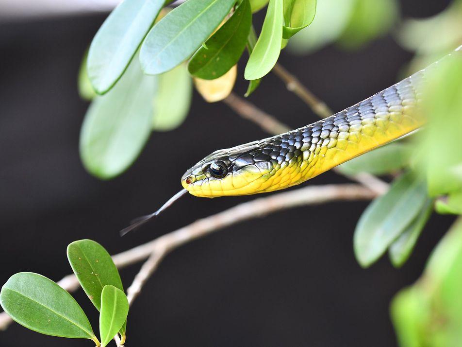 Essas cobras conseguem saltar — e os cientistas querem entender por quê