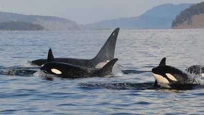 Por que orcas avós vivem tanto tempo? A resposta está nos netos