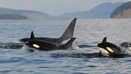 Uma família de orcas emerge no noroeste do Pacífico. Os grandes golfinhos trabalham juntos durante a ...
