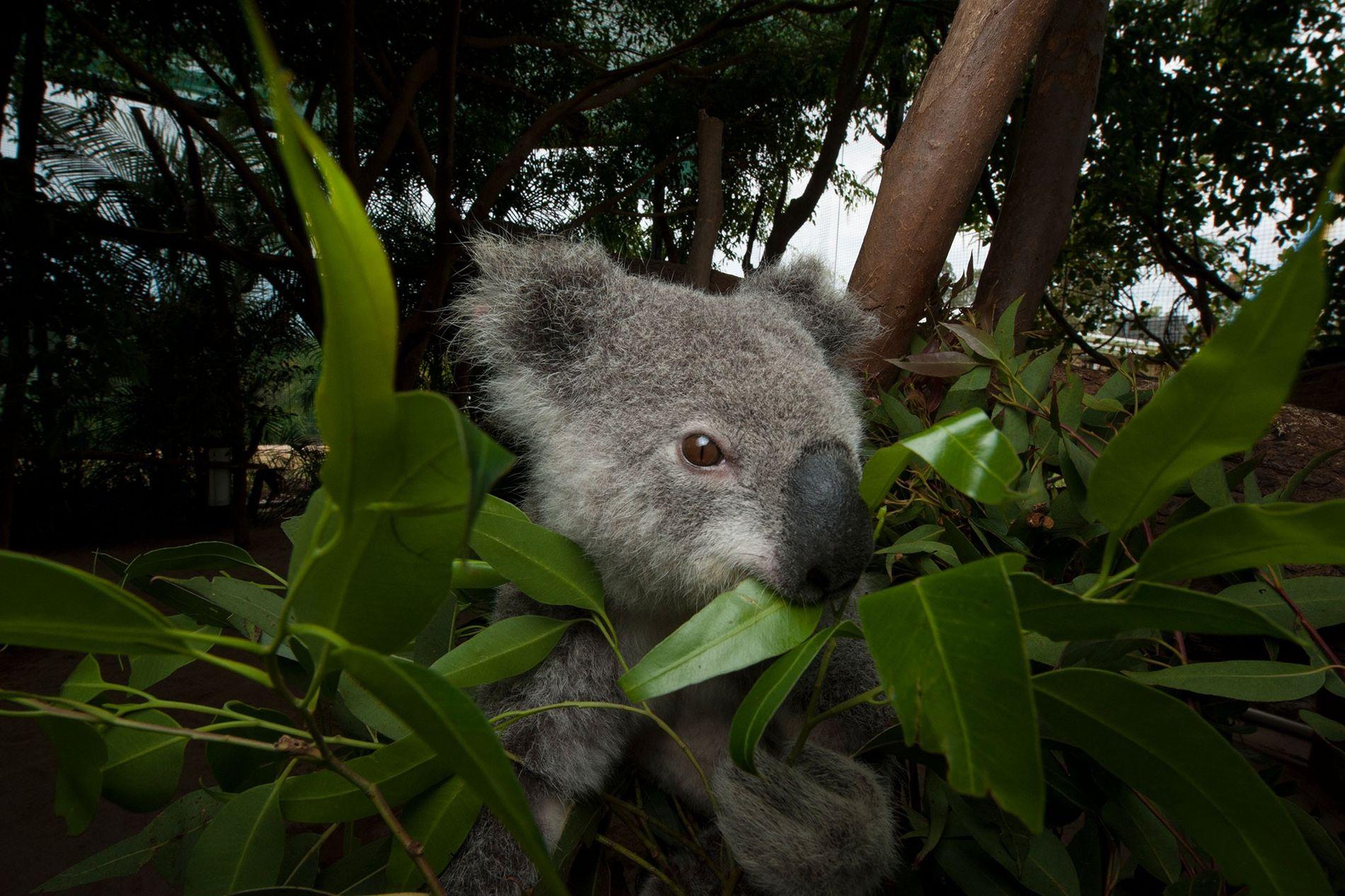 Um coala ameaçado come folhas de eucalipto em um hospital de animais. Beerwah, em Queensland, na Austrália.