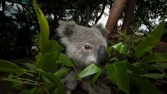 Um coala ameaçado come folhas de eucalipto em um hospital de animais. Beerwah, em Queensland, na ...