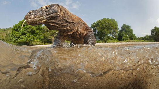 Atraído caixa-estanque vermelha da câmera do fotógrafo, um dragão macho adulto se move da praia para ...
