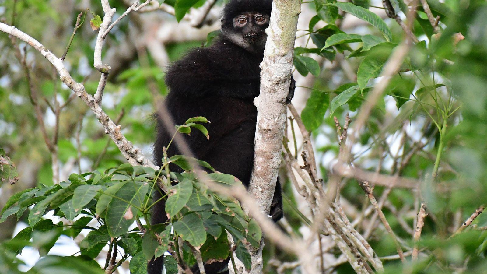 O langur-de-listra-de-sumatra-oriental da espécie Presbytis percura, recém-descrito e considerado criticamente ameaçado, agora é um dos mais ...