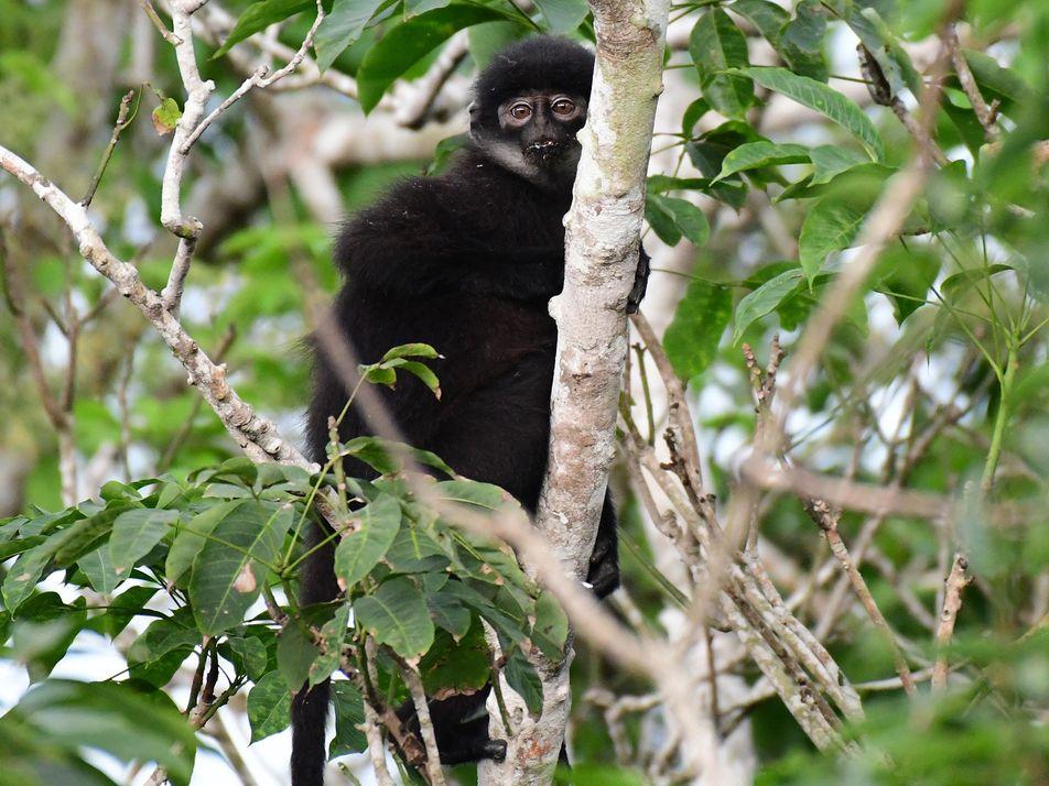 Encontradas novas espécies de primatas que passaram despercebidas diante de todos