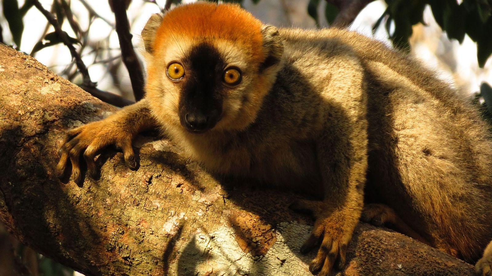 Lêmure-da-face-vermelha utiliza piolhos-de-cobra para lutar contra as parasitas, de acordo com nova pesquisa.