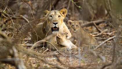 Como as leoas-asiáticas protegem seus filhotes de machos assassinos