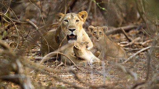 Uma leoa-asiática descansa com seus dois filhotes no Parque Nacional da Floresta de Gir.