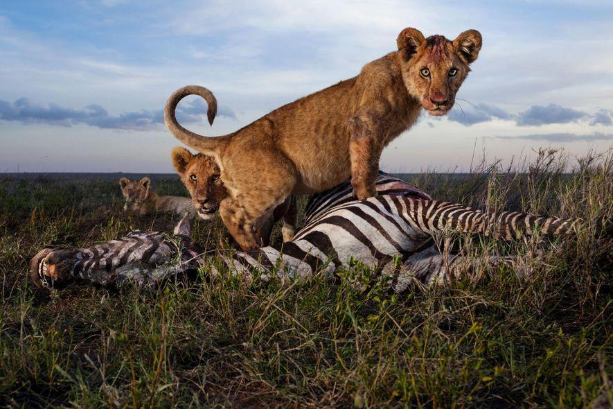 PRATO DO DIA – Um filhote de leão senta sobre a carcaça de uma zebra.