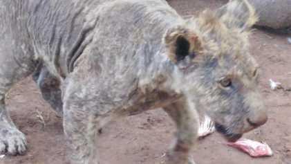 Mais de 100 leões encontrados em péssimas condições em centro de criação na África do Sul