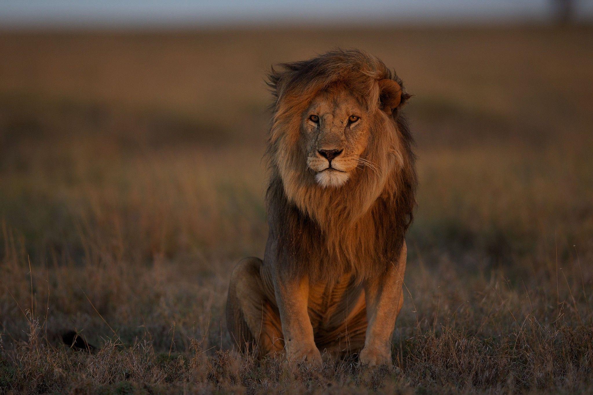 O leão ainda é rei? Número desses felinos reduziu pela metade em 25 anos   National Geographic