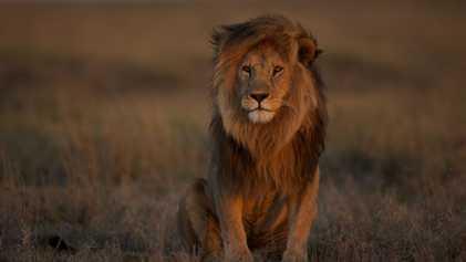 O leão ainda é rei? Número desses felinos reduziu pela metade em 25 anos