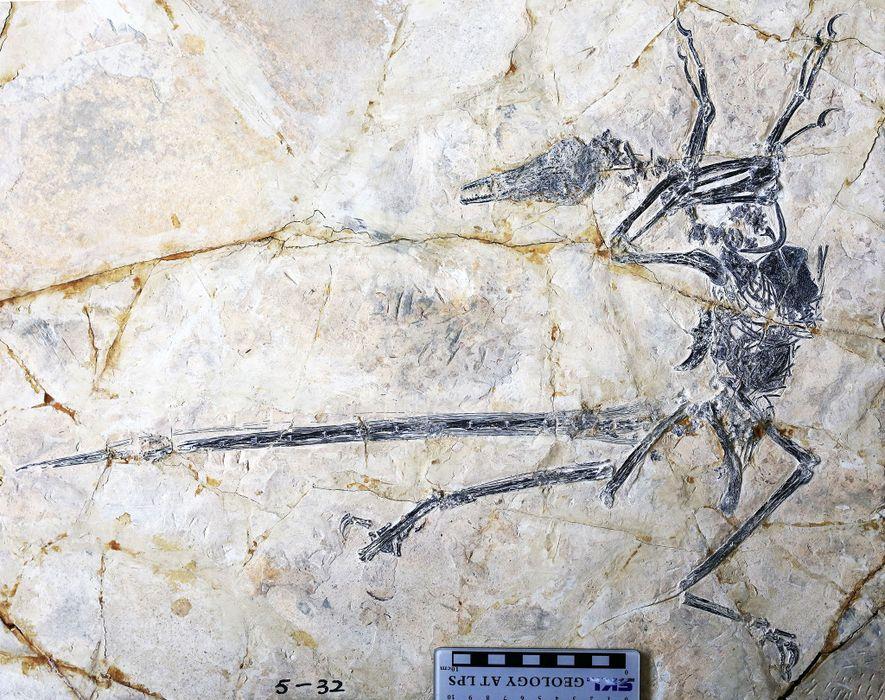 Esse fóssil do dinossauro emplumado Microraptor também preserva a última refeição do animal: um lagarto que ...