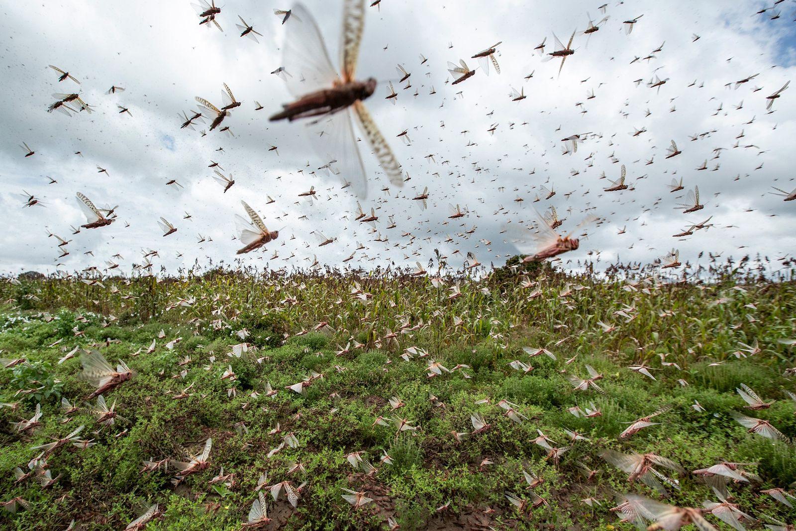 África Oriental é invadida por gafanhotos e mudanças climáticas podem ser a causa