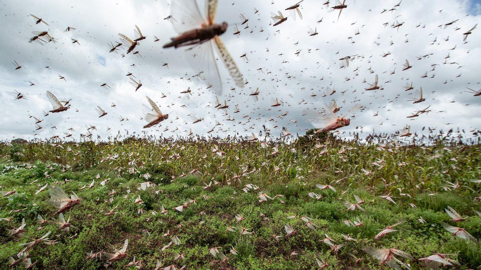 Centenas de milhões de gafanhotos-do-deserto invadiram o Quênia, provenientes da Somália e da Etiópia, uma quantidade ...