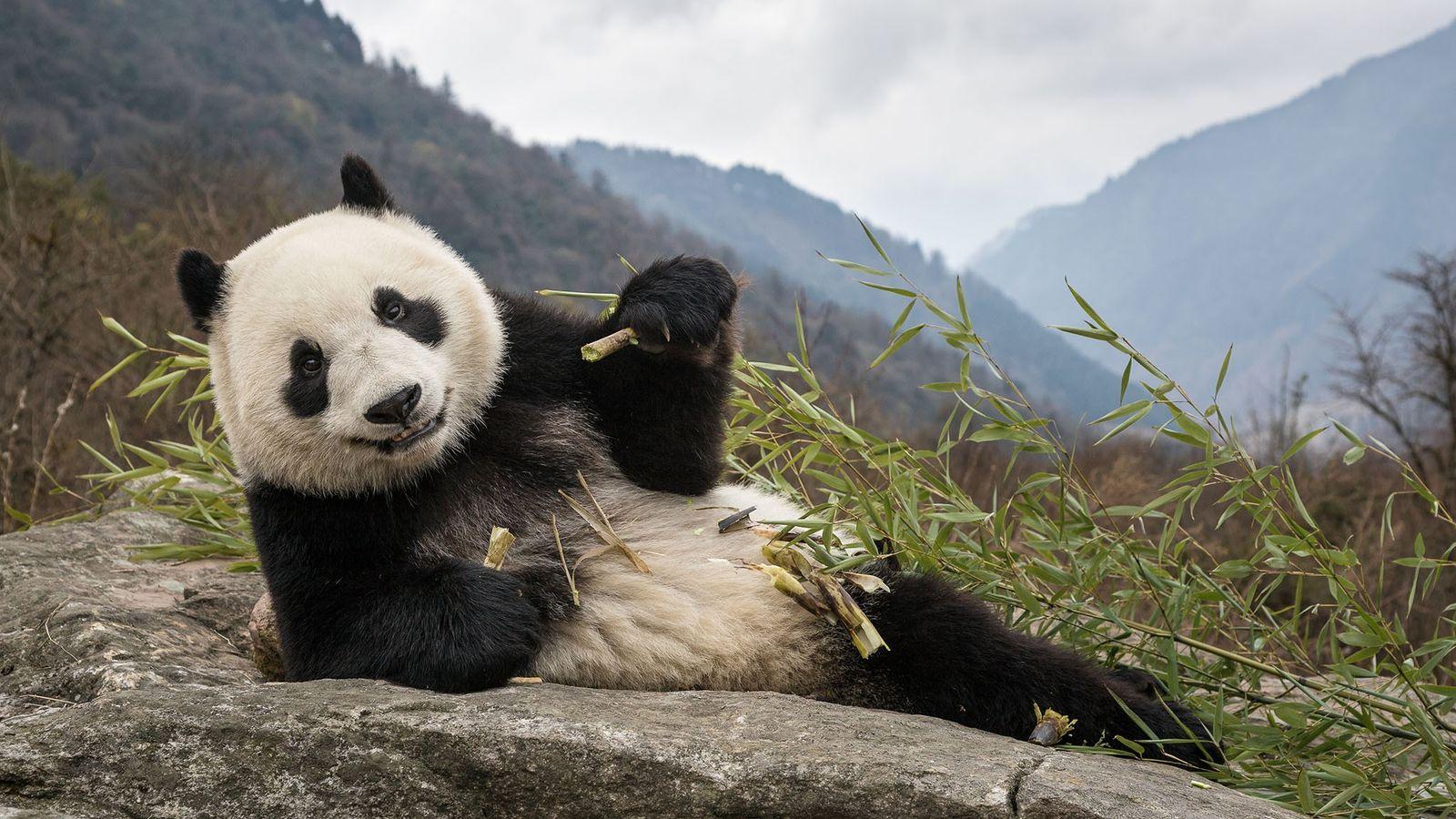 Um jovem panda-gigante come bambu na Base de Pesquisas do Centro de Reprodução do Panda Gigante ...