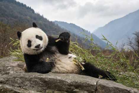 Parente perdido do panda é revelado por fóssil de 22 mil anos
