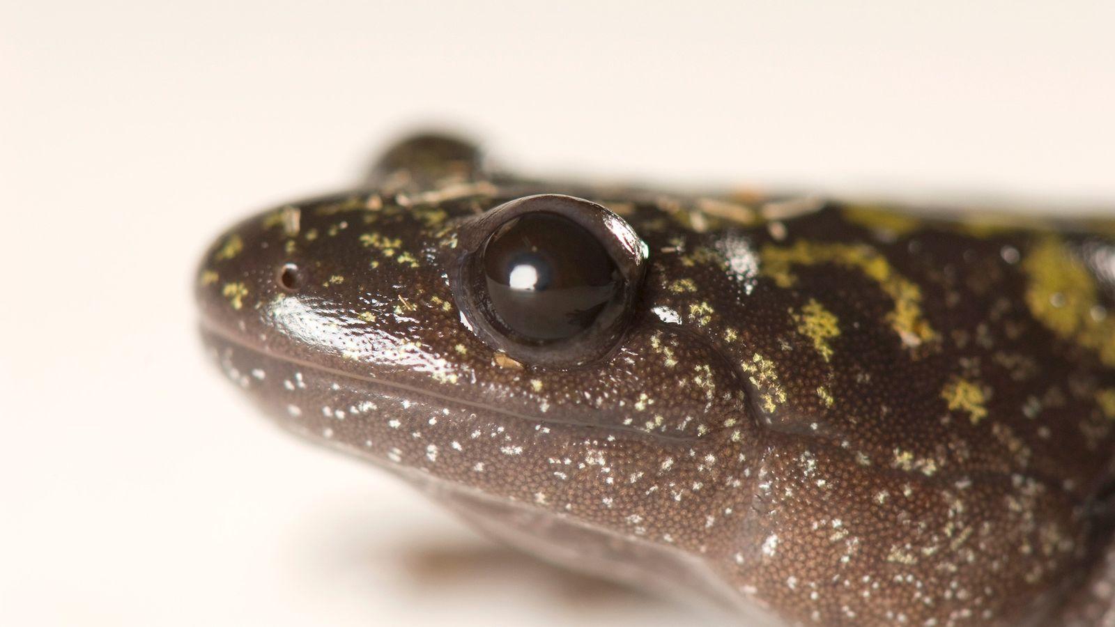 Uma salamandra-de-dedos-largos adulta (Ambystoma macrodactylum) fotografada no Condado de Deschutes, em Oregon. Em seu estágio de ...